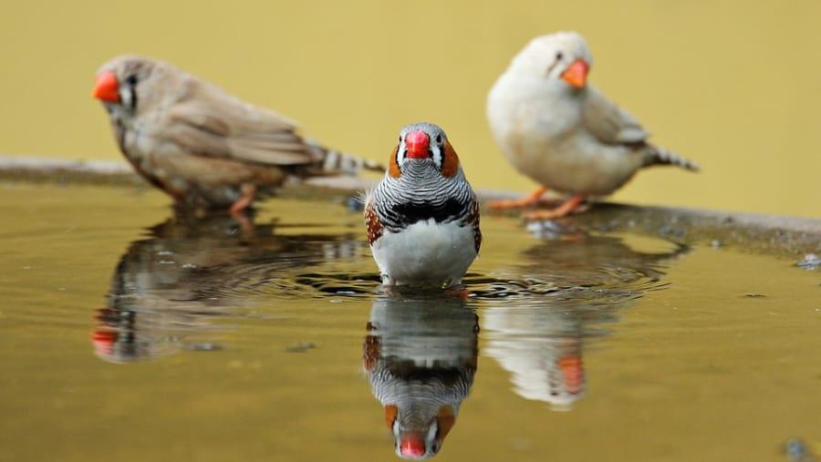 鳥の脳にニセの「記憶」を埋め込むことに成功