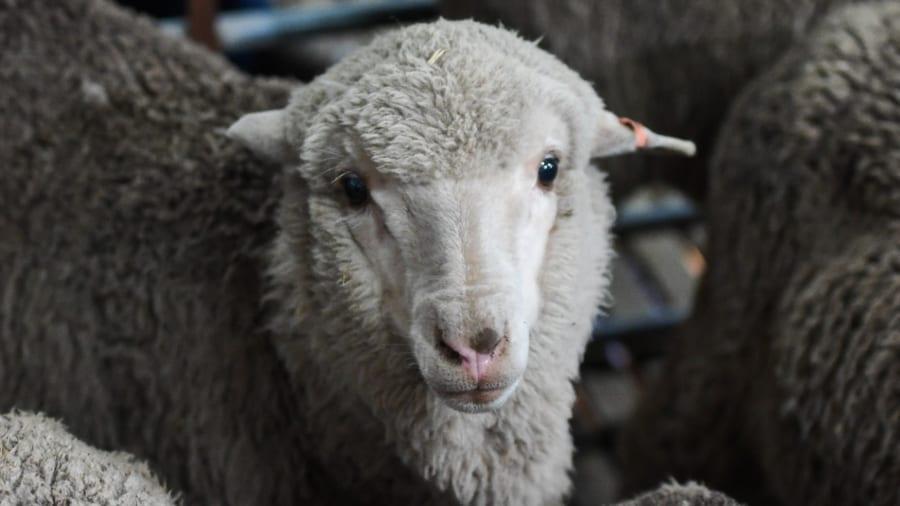 """セイメェェェの神秘!?50年凍結された""""最古の精子""""から羊が誕生"""