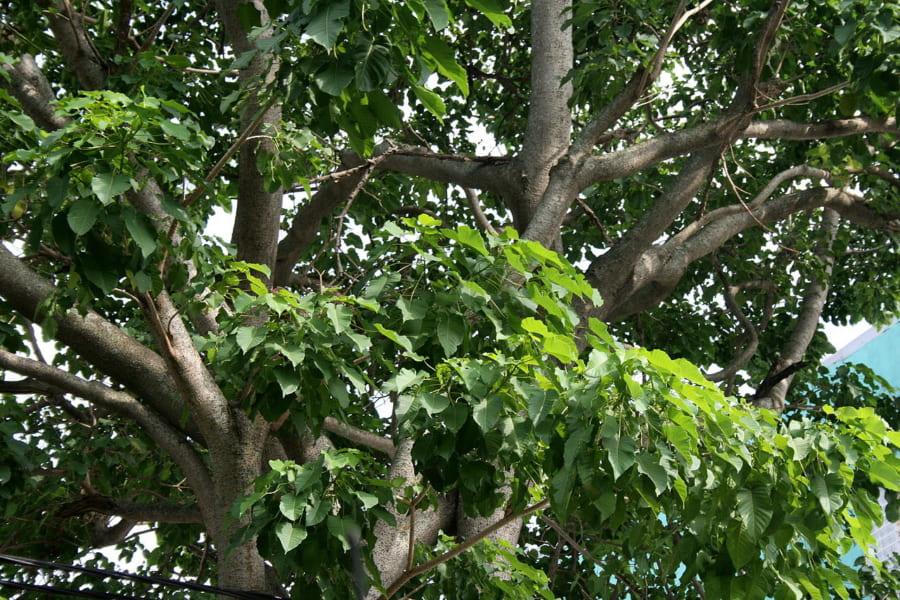 種を時速240キロで「狙撃」する危険な木「スナバコノキ」