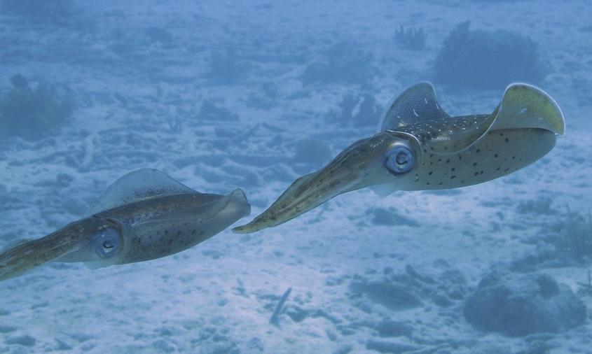 絶対に「イカの精子」を食べてはダメ…口内に突き刺さり手術が必要に