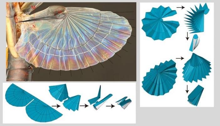 昆虫界最小「ハサミムシ」の扇子の展開図設計法が明らかに!