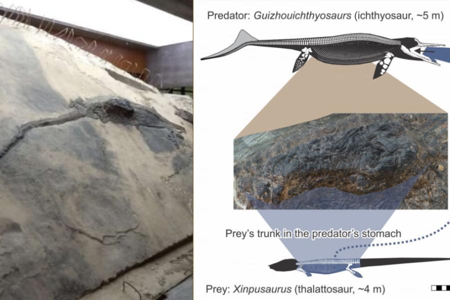 全長5メートルの古代魚竜のお腹に「丸呑みされた4メートルのトカゲ」を発見!