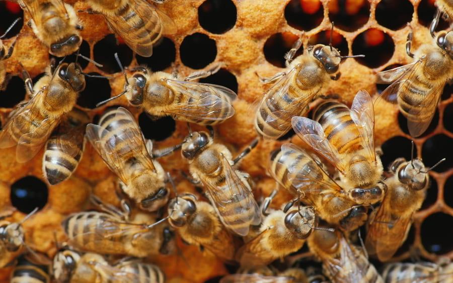 ミツバチ毒が「特効薬のない乳がん細胞」を100%死滅できると判明!新薬開発のカギとなるか