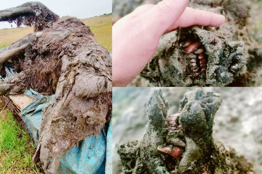 世界初、氷河期に絶滅したホラアナグマの「全身ミイラ」を発見(シベリア)