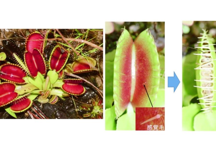"""食虫植物ハエトリソウの""""葉が閉じるメカニズム""""を解明!30年前の仮説を日本の研究チームが実証"""