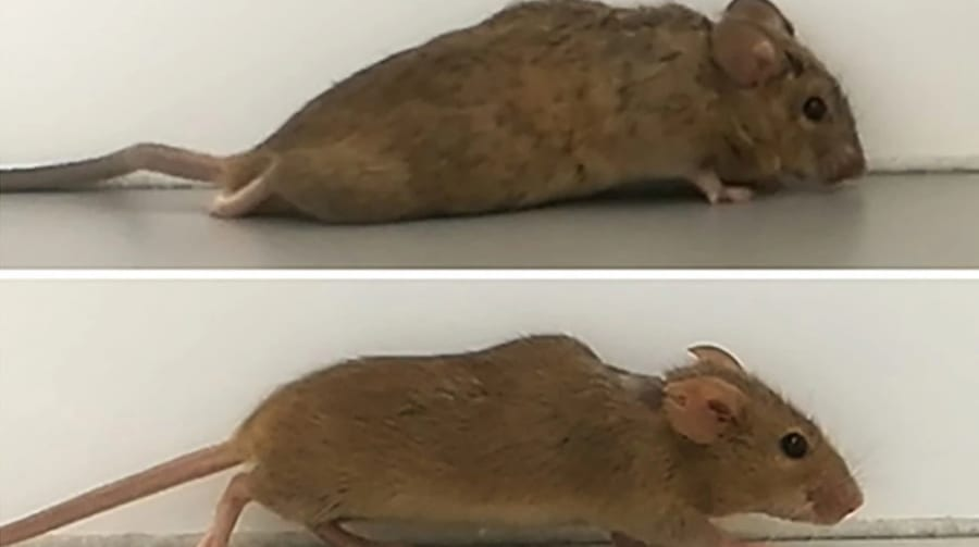 損傷した脊髄を再びつなぐ遺伝子治療に成功! 2週間でマウスが歩けるように