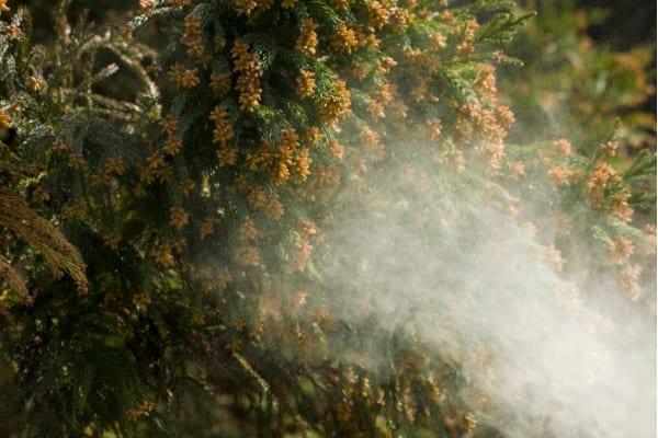 花粉症の無い未来が来る!? 「無花粉スギ」を生み出す遺伝子変異が特定される