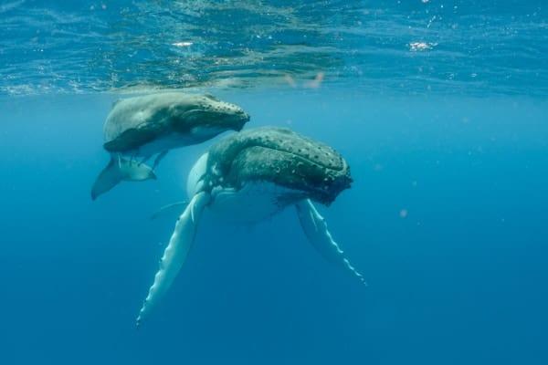 細胞をたくさん持つクジラが「がん」にならない理由を解明! 人間の治療にも役立つ発見