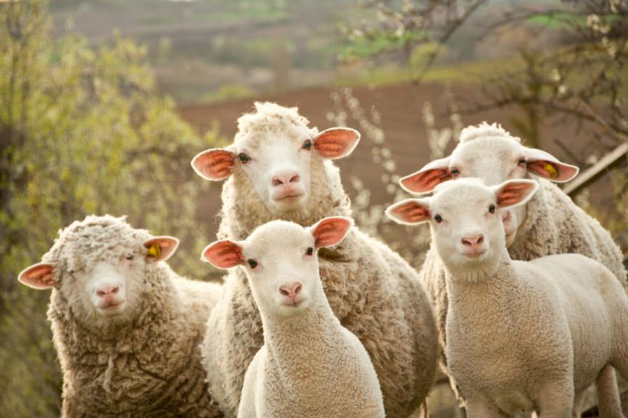 メス羊は選択権があると、支配的なオスより「下位の大人しいオス」をパートナーに選ぶことが判明