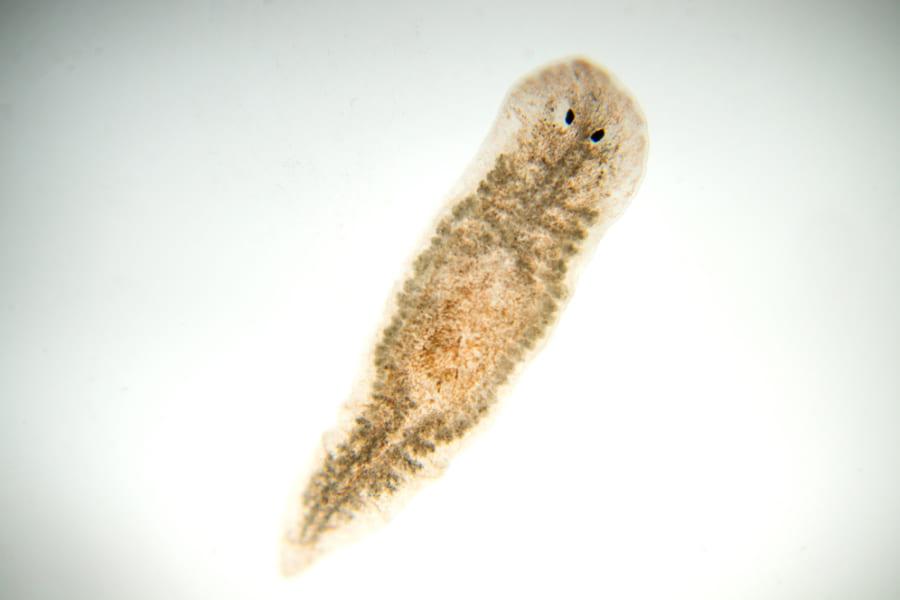 「死なない生物」プラナリアの新たな生態が明らかに、目がなくても光を感じられる