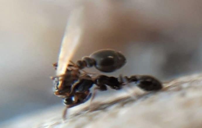 女王アリを巣穴に「放り込み」見知らぬオスと交尾させる奇妙な習性を確認!