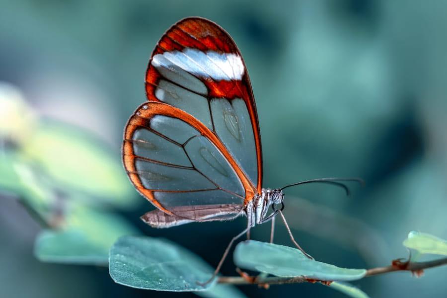 「透明な羽をもつチョウチョ」ガラスのような羽の作り方が明らかに
