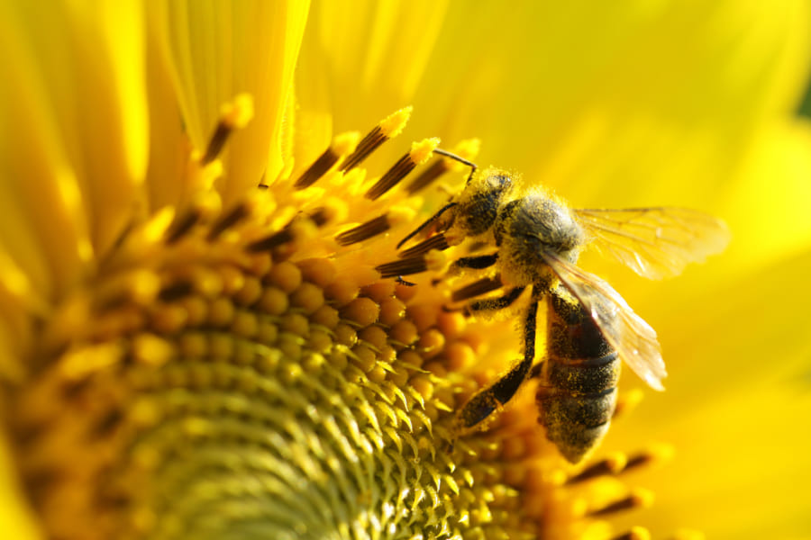 成熟したヒマワリが東向きに固定される理由が判明、ハチと太陽に原因がある