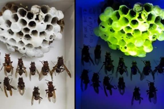 ブラックライトで発光するスズメバチの巣が発見される