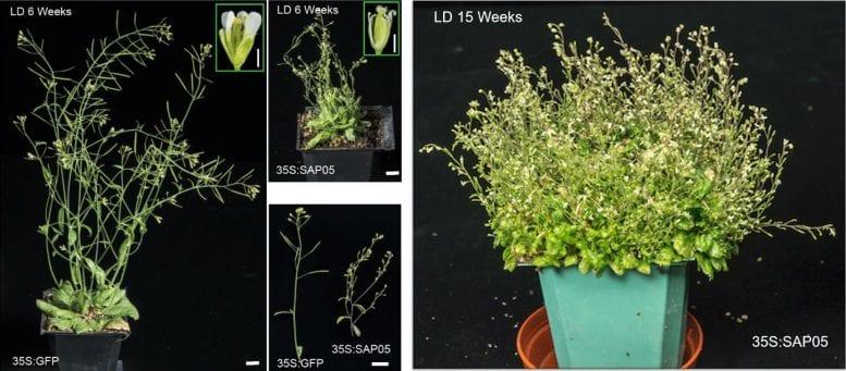 寄生細菌が植物を「ゾンビ化」させるメカニズムを解明