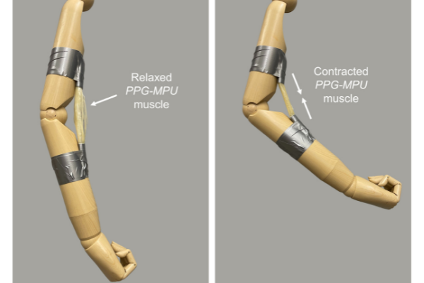ロボットの人工筋肉になる「パワフルな形状記憶ポリマー」が開発される