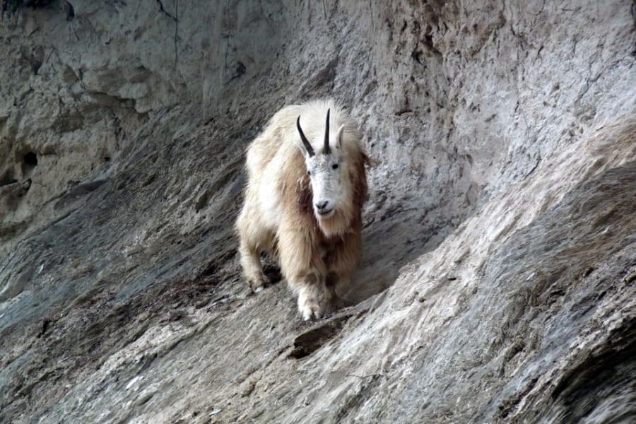 グリズリーがヤギに刺殺される事件が発生!まさかの返り討ち