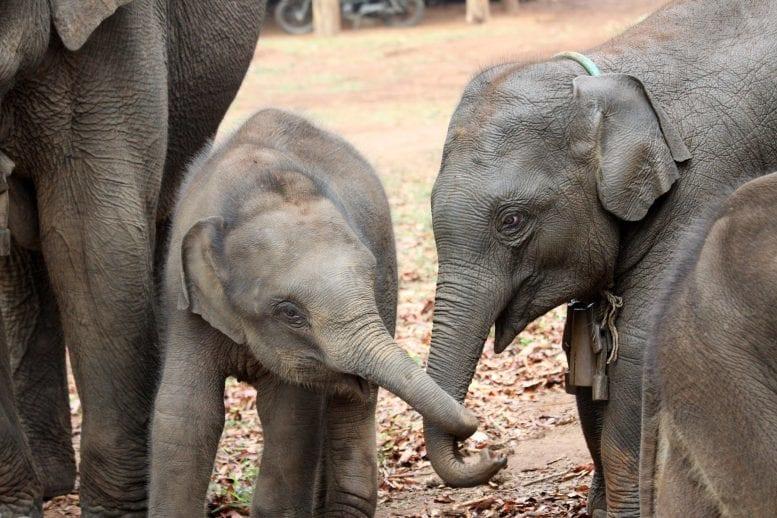 ゾウは「お姉ちゃん」がいると生存率が高まることが明らかに