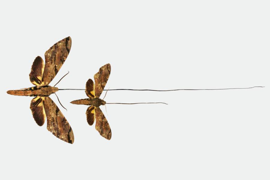 かつてダーウィンの予言した世界最長30cmの口器を持つスズメガが「新種」に認定