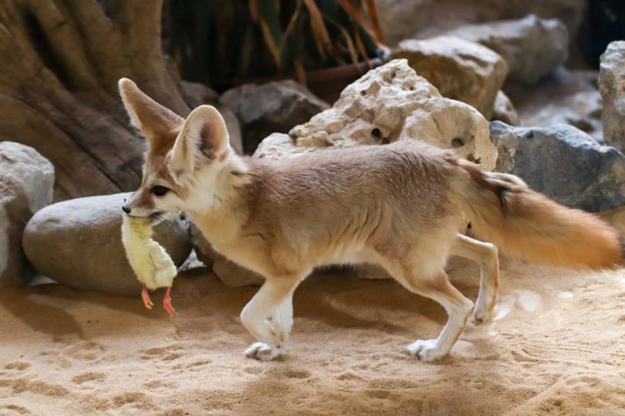 世界最小の飼えるキツネ「フェネック」の生態