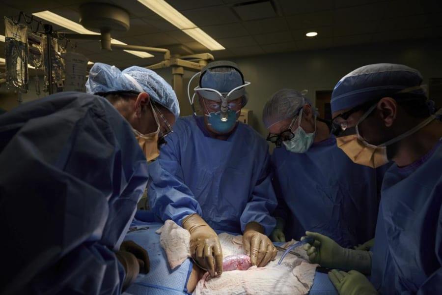 ヒトに「ブタの腎臓」を移植することに初成功!